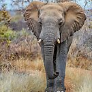 African Savannah Elephant by Jan Fijolek