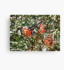 Honey Eater, NSW, Australia Canvas Print