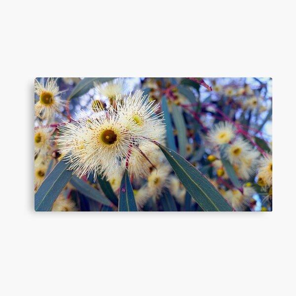 Eucalyptus Blossoms Canvas Print