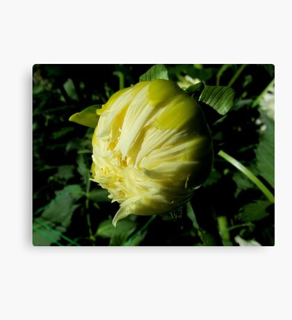 Dahlia about to unfold Canvas Print