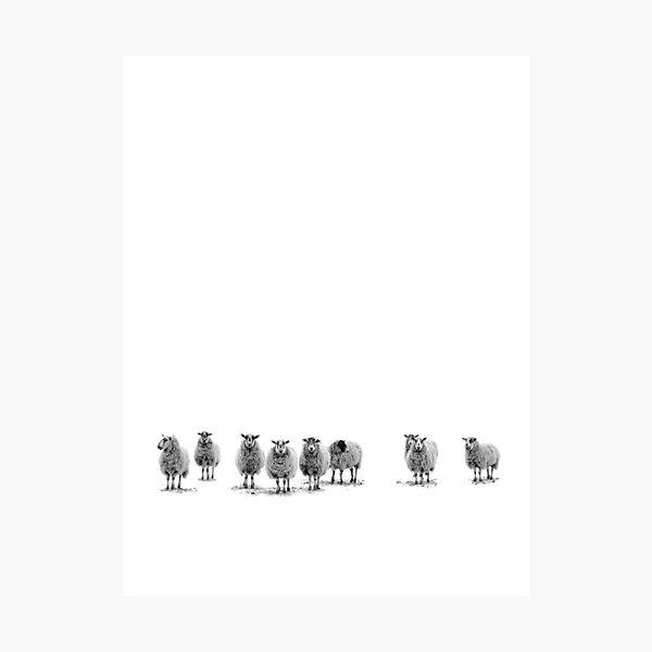 sheepish Photographic Print