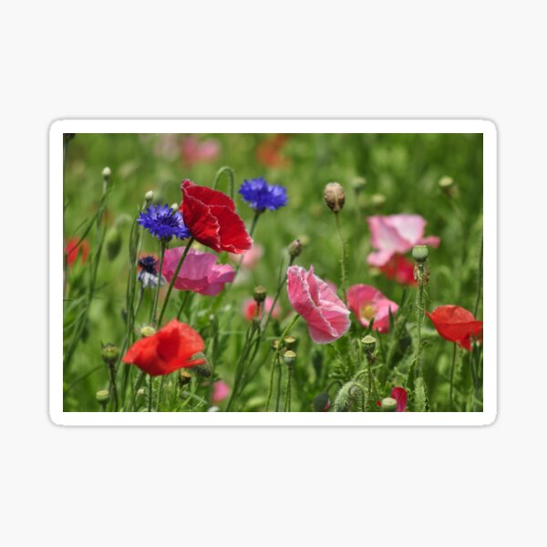 Poppies, As Is Sticker