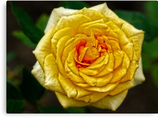 yellow rose by Manon Boily