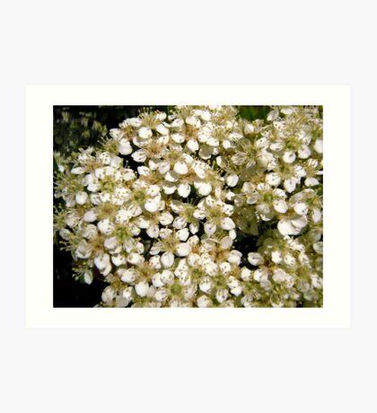 Hawthorne flowers Art Print