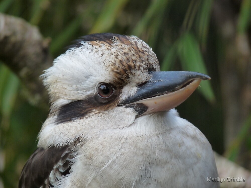 Kookaburra by Marilyn Grimble