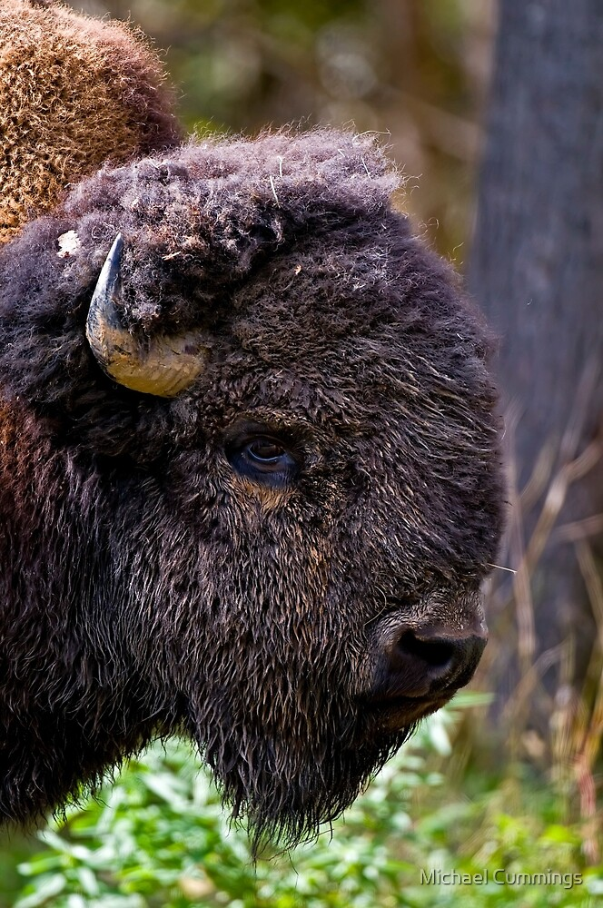 Bison by Michael Cummings