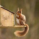 Red Squirrel by Jon Lees
