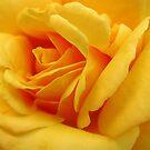 rose petals by ANNABEL   S. ALENTON