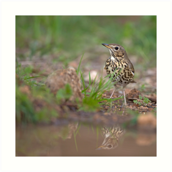 Song Thrush (Turdus philomelos) on the ground near a puddle of water by PhotoStock-Isra