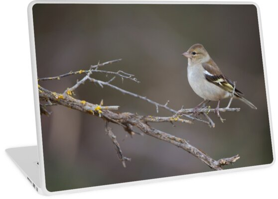 Female common chaffinch (Fringilla coelebs) perched on a branch by PhotoStock-Isra