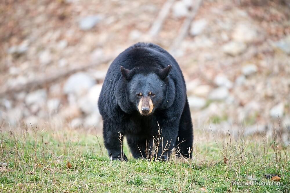 Black Bear by Michael Cummings