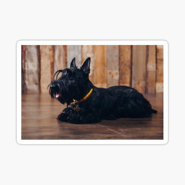Scottish terrier puppy is posing in studio on wooden background Sticker