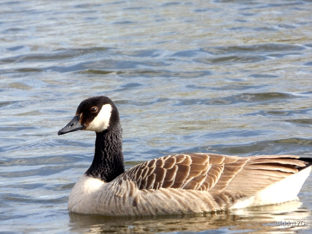 A wonderful photograph of a Canada goose by widdy170