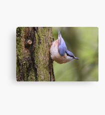 """ Playful Nuthatch "" Canvas Print"