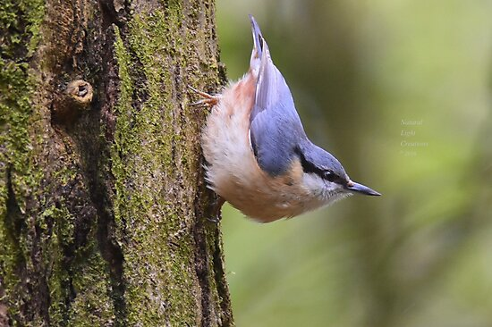 """"""" Playful Nuthatch """" by Richard Couchman"""
