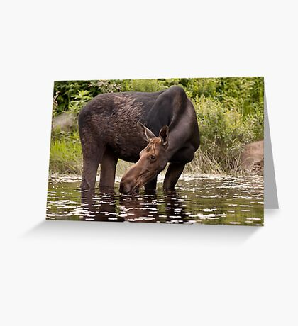 My dinner with a moose - Algonquin Park Greeting Card