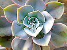 Rainbow Succulent - Echeveria by MotherNature