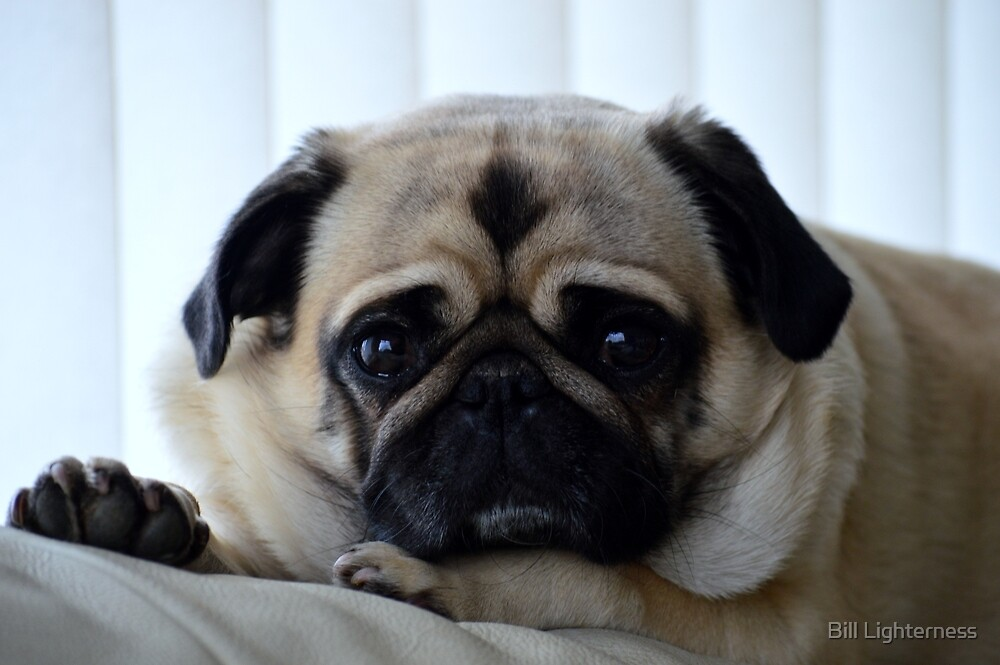 The Posing Pug by Bill Lighterness
