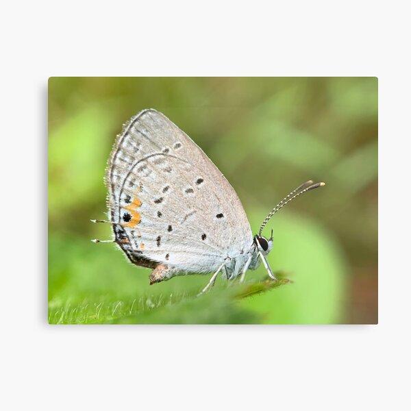 Azure Butterfly Metal Print
