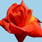 Beautiful Red Rose Photograph Vector by taiche