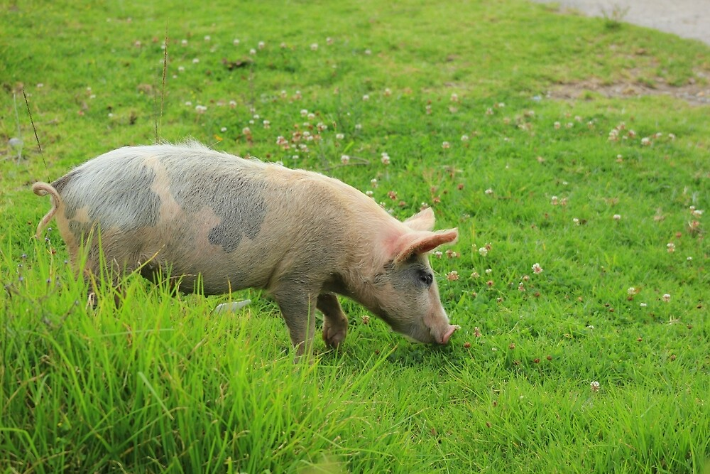 Pig in a Pasture by rhamm