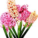 Orange and Pink Hyacinths by Susan Savad