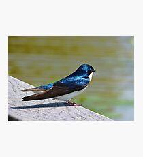 Terrance The Tree Swallow  Photographic Print