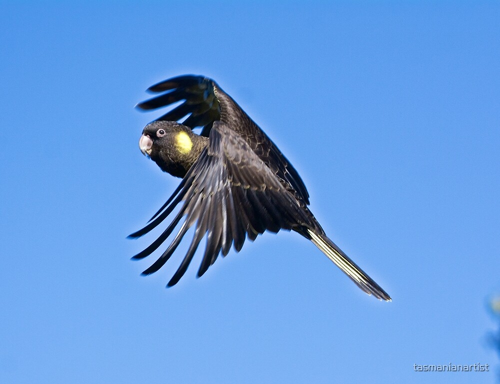 Yellow-tailed Black-Cockatoo by tasmanianartist
