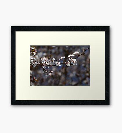 White Blossom of Spring Framed Print