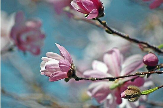 Sugar Magnolia by tori yule