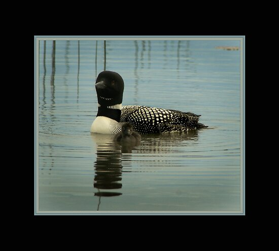 Loon and chick by Steve Cushman
