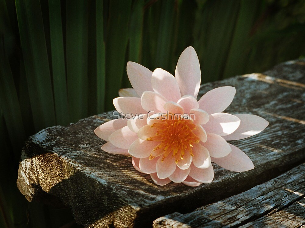 Pink Lily on Dock by Cushman