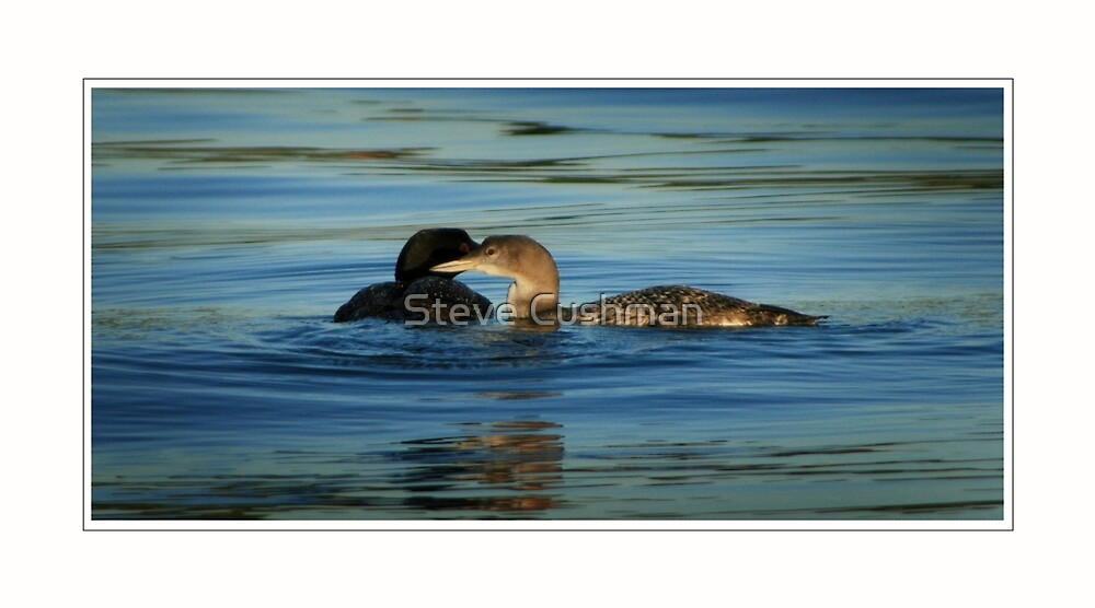 Minnesota Common Loons, Adult and Chick by Cushman
