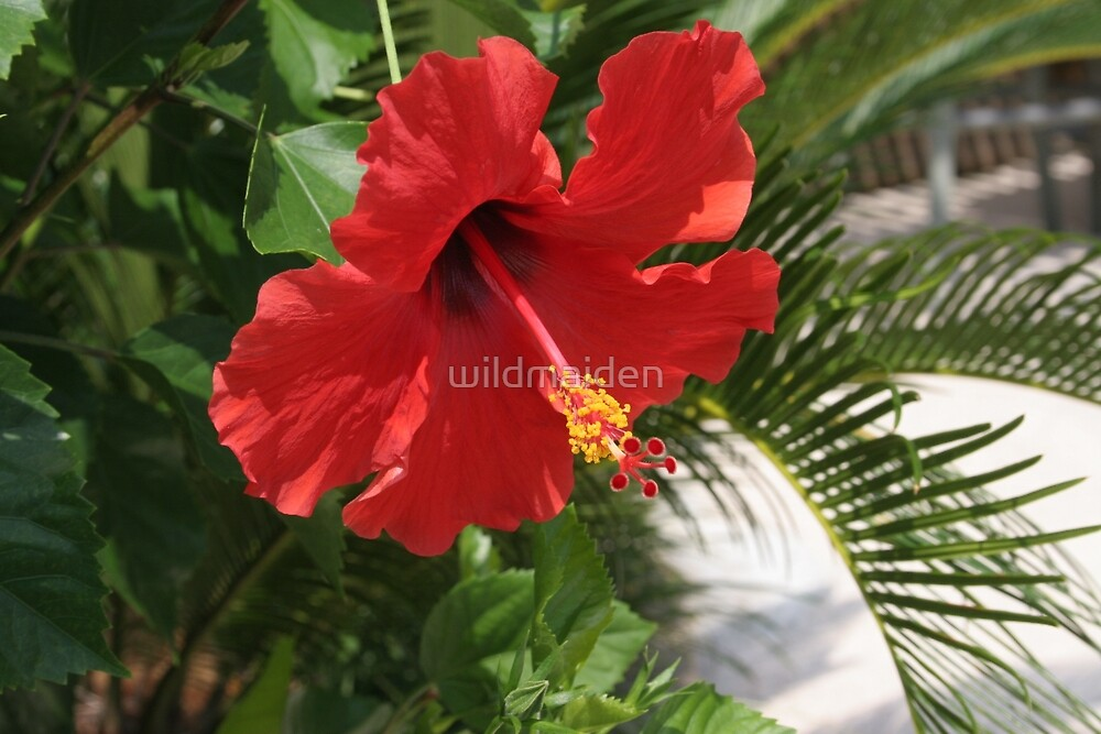 Red Hibiscus by wildmaiden