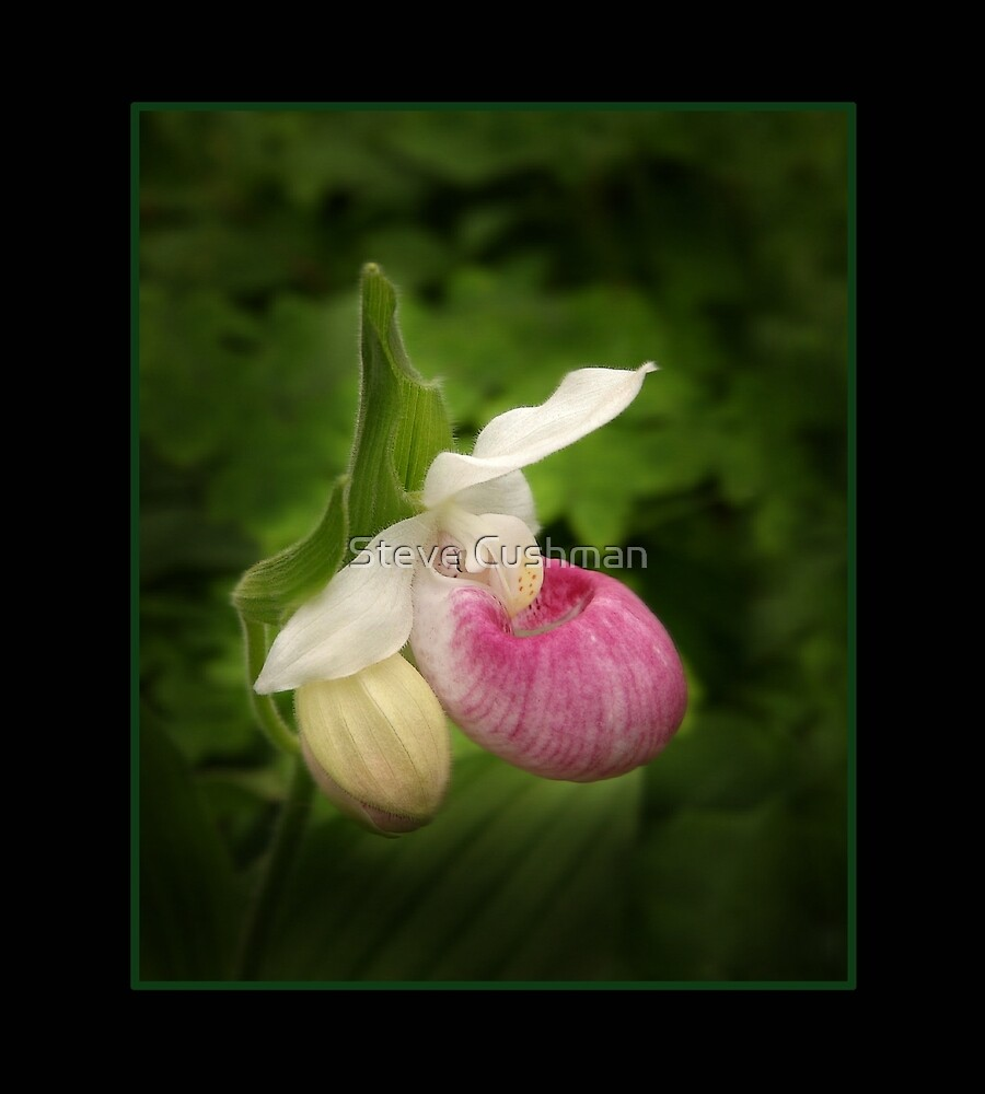 Pink Lady Slipper by Cushman