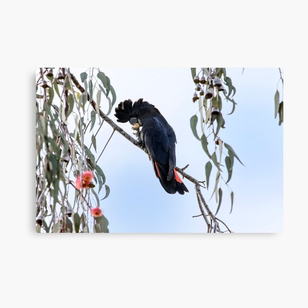 Red Tailed Black Cockatoo in Pink Gum Tree Canvas Print