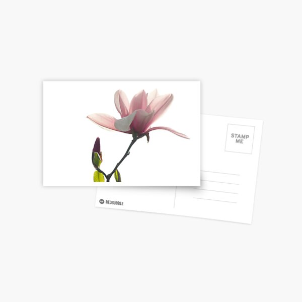 Pink magnolia unfolding Postcard