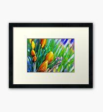 Bokeh syle crocus flowers Framed Print