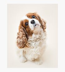 Lily the Cavalier King Charles Spaniel Photographic Print