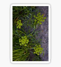 Rock Samphire, Inishmore, Aran Islands Sticker