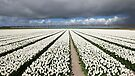 Tulips before the storm by Peter Zentjens