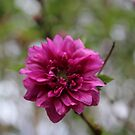 Cerise Double Flower by Leyh