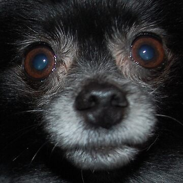Amonute the Long Haired Chihuahua by DazedPurple
