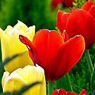 Tulips by Scott Mitchell