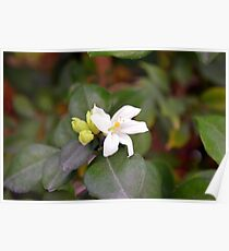 Small white flower and green leaves. Poster