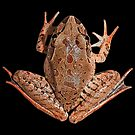 Mixophyes iteratus - the Giant Barred Frog by Narelle Power