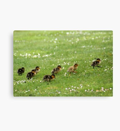 Ducklings and Daisies Canvas Print