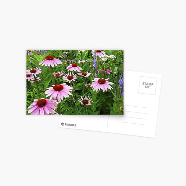 Country Coneflower Field Postcard