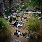 Black Swans by Linda Cutche