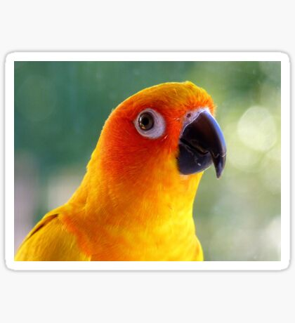 I Might Be Up To Mischief! - Sun Conure NZ Sticker